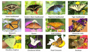 DFW Tri-County NABA Butterfly Count